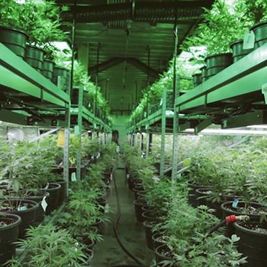 The Marijuana Divide