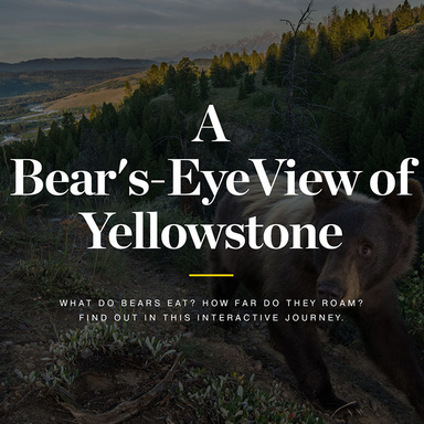 A Bear's-Eye View of Yellowstone