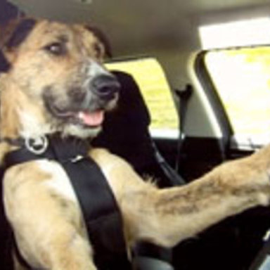 Driving Dogs